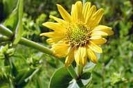 silphium_integrifolium_001__72511__53665.1336784701.1280.1280
